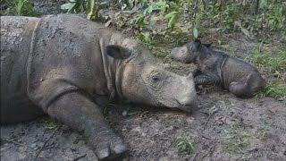 Индонезия: рождение редкого суматранского носорога (новости)