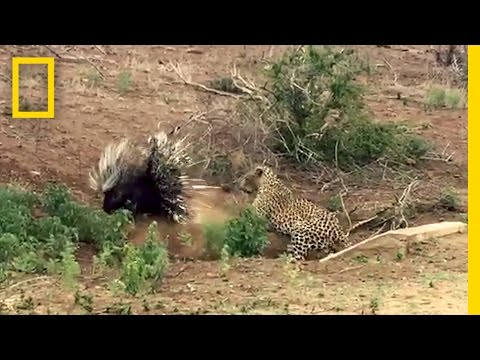 Leopard vs. Porcupine: A Prickly Standoff | National Geographic