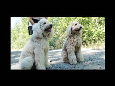 Dog Breeds 101: F1 Australian Labradoodle ~ Meet KC & Solly-Wally Doodle