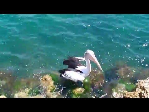 Pelican @ Port Bouvard Marina