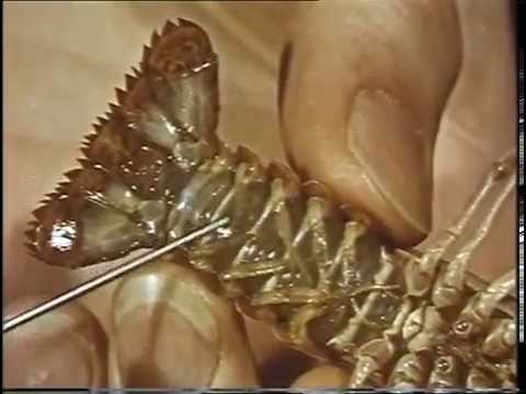 Crayfish Anatomy - Preview Clip (c)