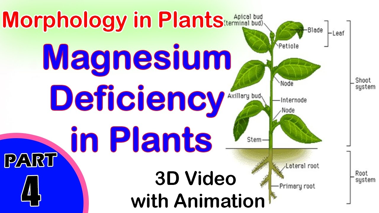 Magnesium Deficiency In Plants | Absorption Of Light ...