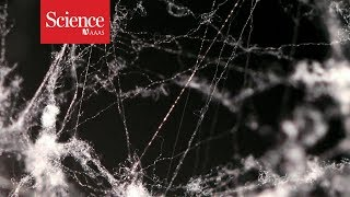Spider silk is 5 times stronger than steel - scientists know why
