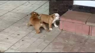 Тамила и Тибо-3 PR company BuldogFIL щенки английского бульдога