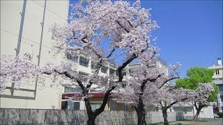 大阪・門真市役所の桜 Cherry Blossoms of Kadoma city Hall, Osaka (2019.4)