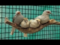 watch he video of Breeding Diamond Doves