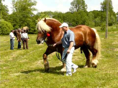 Pokaz koni zimnokrwistych w Dołhobrodach