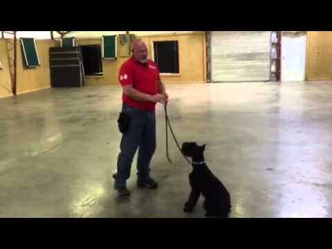 """Giant Schnauzer """"L-Ace"""" Obedience Training Home Raised Personal Protection Dog"""