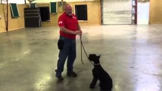 "Giant Schnauzer ""l-ace"" Obedience Training Home Raised Personal Protection Dog"