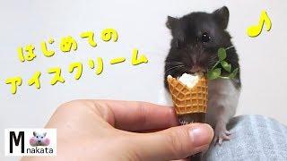 豆腐アイスクリームをあげてみた!おもしろ可愛い癒しハムスターFunny Hamster eating tofu ice cream thumbnail
