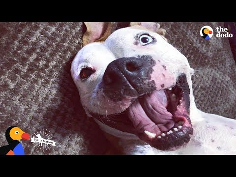 'Aggressive' Pit Bull Dog Turns Into a Sweet Snuggle Machine | The Dodo Pittie Nation