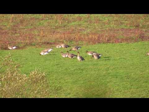 Taiga Bean Geese - Slamanan Plateau - Forth - Oct 2017
