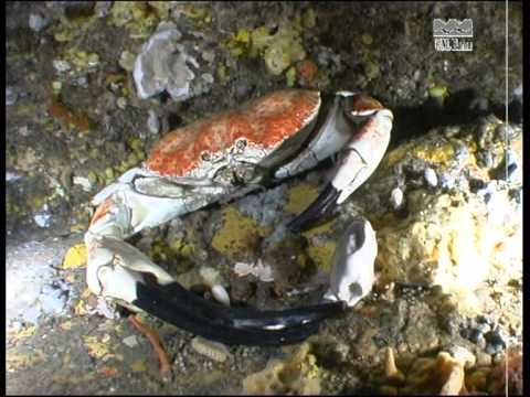giant freshwater crab - photo #21