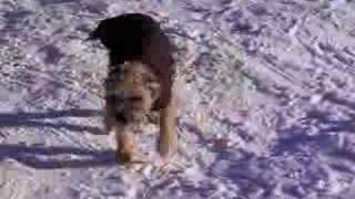 Ulane Mon Border Terrier à La Neige 2