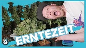 Wie man Cannabis richtig ERNTET