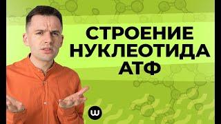 Строение нуклеотида | АТФ | ЕГЭ Биология
