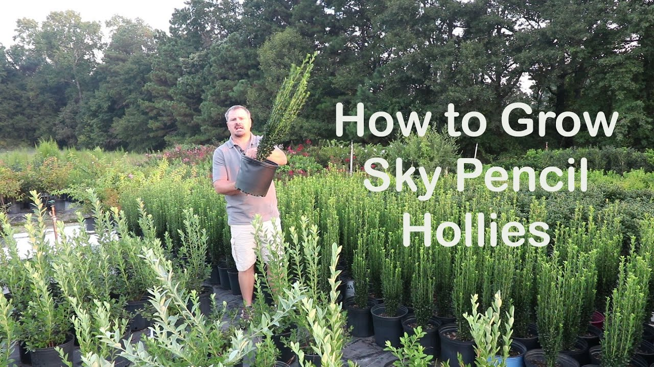 How To Grow Sky Pencil Hollies The Easy Upright Evergreen Shrubs