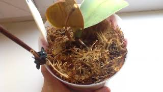 Орхидея погибает, орхидея даёт детку.