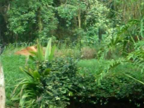 Roaring Lion Sao Paulo Zoo
