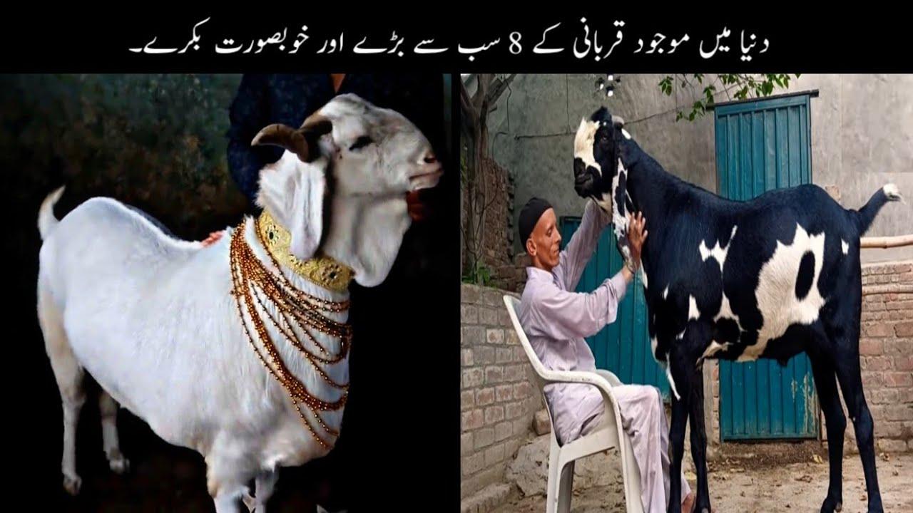 8 Most Unusal And Biggest Goats For Qurbani   قربانی کے سب سے انوکھے بکرے   Haider Tv