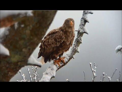 Smola Norway Eagle Cam ~ Snow Falling; Baroness Brings In Prey; Baron Closeups 3.10.18