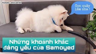Xem xong bạn sẽ muốn nuôi chó Samoyed ngay (chó tuyết)