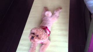 Our Cute Brown Poodle Bb Doing Yoga! 可愛的紅貴賓做瑜珈!