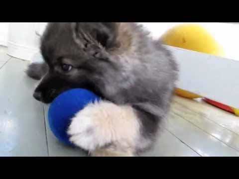 Cutest Finnish Lapphund puppy ever!