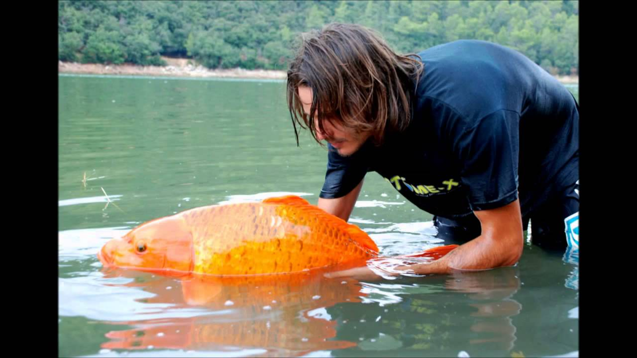 Most famous giant goldfish in the world rapha l biagini for Big gold fish