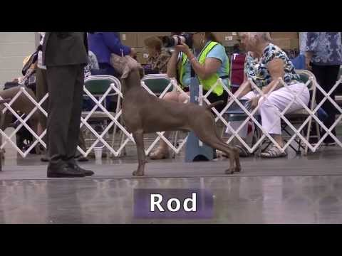 Rod BIF GCH Silhouette's All Revved Up