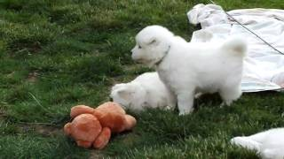 Samoyed Puppies Playing