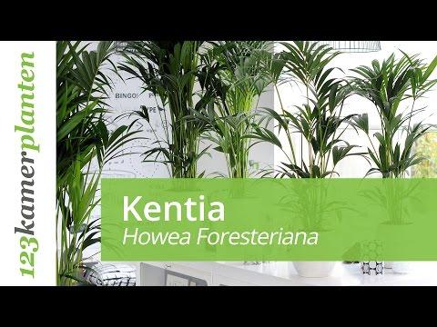 De Kentia palm; een makkelijke kamerplant - 123kamerplanten