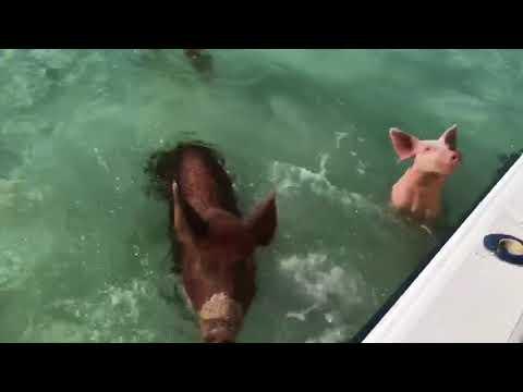 Swimming Pigs - 979332