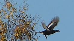 Tarkka-ammuntaa kiväärillä - Ammutaan oksa poikki teeren alta 250 metriin vahingoittamatta lintua