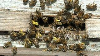 весна, холод, но как работают пчелы