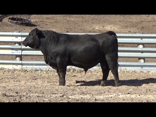 Connealy Angus Lot 96