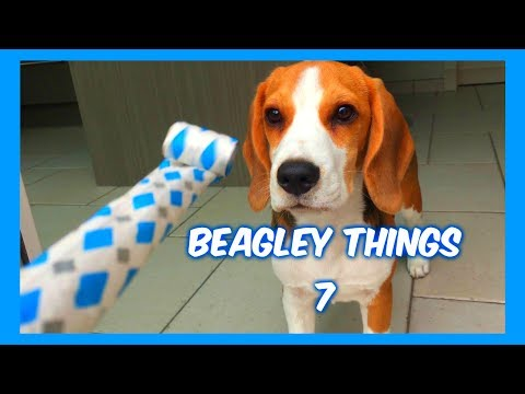Funny 'Beagley' Things! Why You Should Get A Beagle Dog. Episode #7