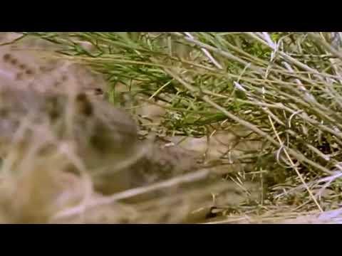 Леопард против большого Питона. Реальный бой