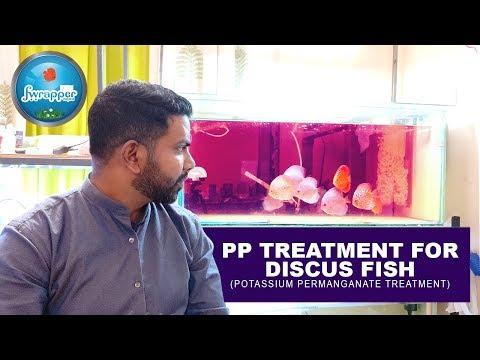 PP Treatment for Discus Fish || Gill Flukes Treatment || Potassium Permanganate Treatment