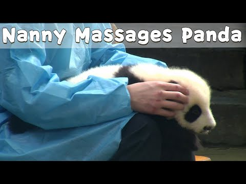 Panda Lies On Nanny's Legs Receiving Massage | iPanda