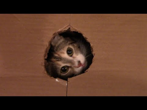 Cats Playing in and Escaping from Box