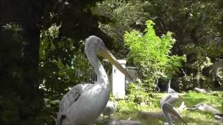 Krauskopfpelikan (pelecanus Crispus) - Dalmatian Pelican