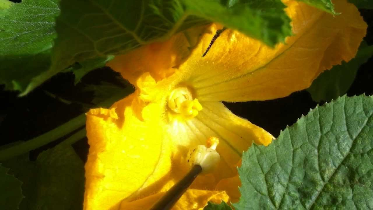 Zucchini Pollination Get More Harvest Youtube