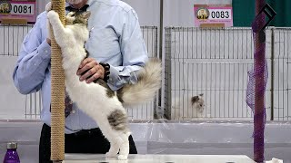 CFA International Show 2019  Longhair Kitten Class Judging  RagaMuffins