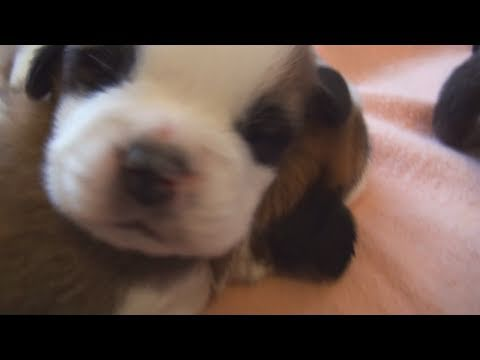 puppies-making-cute-fart-noises-(2-weeks-old)