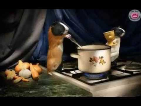 cochon d'inde drole - YouTube