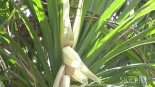 The kewda (Pandanus odoratissimus)