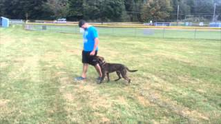 Aggressive Dog Off Leash Obedience