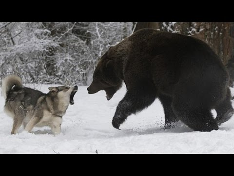 Badass Animals ★ Fearless Animals 2016 [Funny Pets]