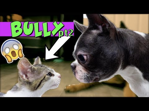Kittens won't stop bullying Boston Terrier Puppy UPDATE | TRY NOT TO LAUGH
